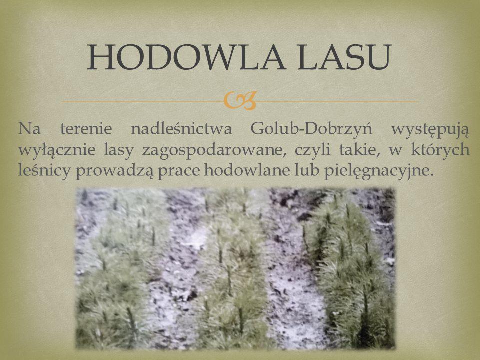  Na terenie nadleśnictwa Golub-Dobrzyń występują wyłącznie lasy zagospodarowane, czyli takie, w których leśnicy prowadzą prace hodowlane lub pielęgnacyjne.