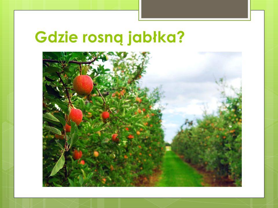 Gdzie rosną jabłka?