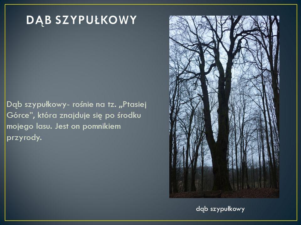 """Dąb szypułkowy- rośnie na tz.,,Ptasiej Górce"""", która znajduje się po środku mojego lasu. Jest on pomnikiem przyrody. dąb szypułkowy"""