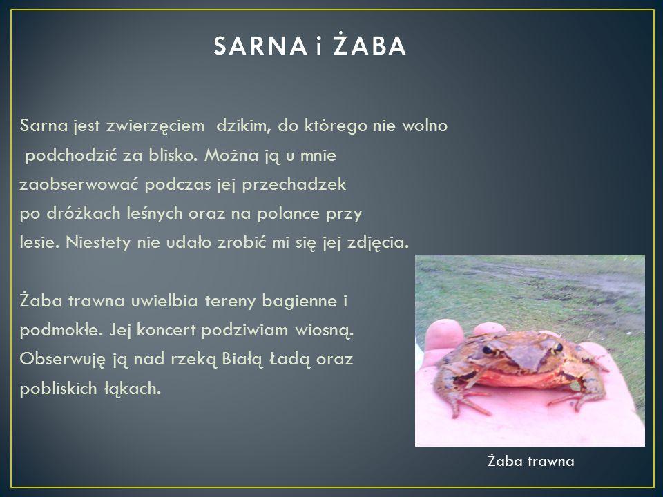 Sarna jest zwierzęciem dzikim, do którego nie wolno podchodzić za blisko. Można ją u mnie zaobserwować podczas jej przechadzek po dróżkach leśnych ora