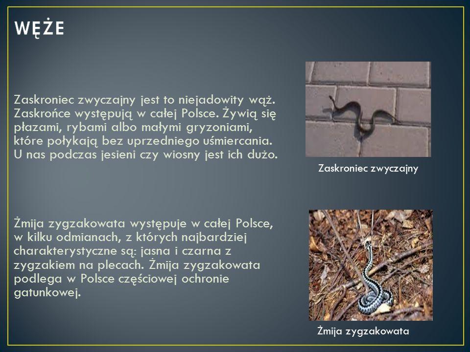 Zaskroniec zwyczajny jest to niejadowity wąż. Zaskrońce występują w całej Polsce. Żywią się płazami, rybami albo małymi gryzoniami, które połykają bez
