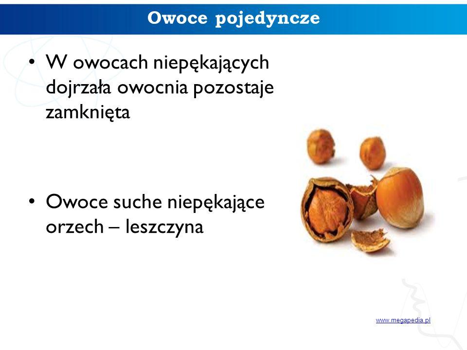 Owoce pojedyncze W owocach niepękających dojrzała owocnia pozostaje zamknięta Owoce suche niepękające – orzech – leszczyna www.megapedia.pl