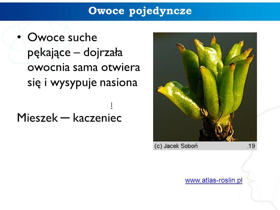 Owoce pojedyncze Owoce suche pękające – dojrzała owocnia sama otwiera się i wysypuje nasiona Mieszek ─ kaczeniec l www.atlas-roslin.pwww.atlas-roslin.