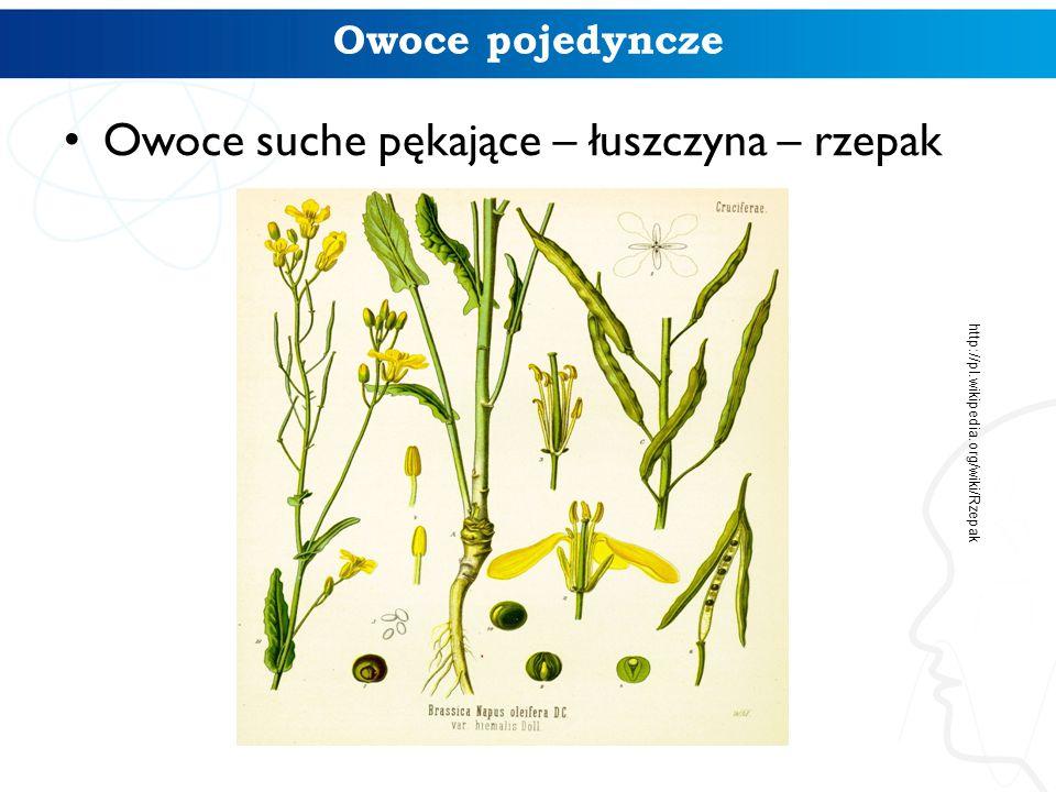 Owoce suche pękające – łuszczyna – rzepak Owoce pojedyncze http://pl.wikipedia.org/wiki/Rzepak