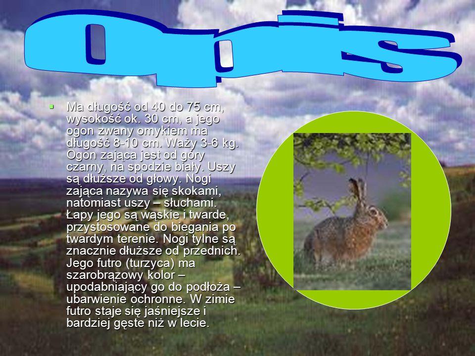 Zając szarak (Lepus europaeus) – gatunek ssaków, należący do rzędu zajęczaków, do rodziny zającowatych.