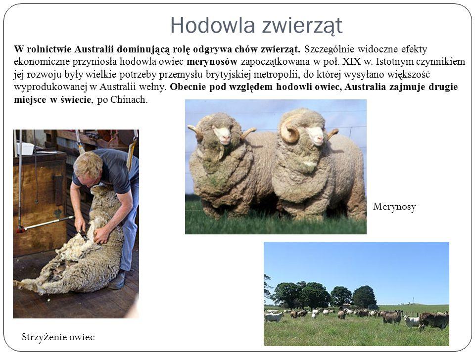 Hodowla zwierząt W rolnictwie Australii dominującą rolę odgrywa chów zwierząt. Szczególnie widoczne efekty ekonomiczne przyniosła hodowla owiec meryno