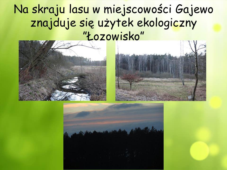 """Na skraju lasu w miejscowości Gajewo znajduje się użytek ekologiczny """"Łozowisko"""""""