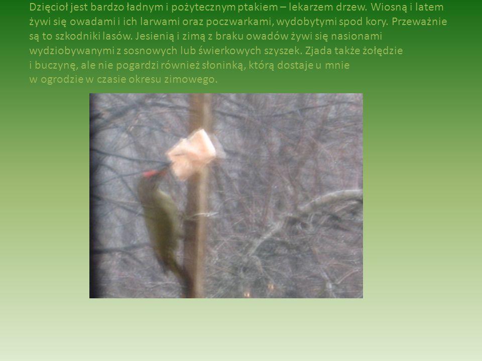 Dzięcioł jest bardzo ładnym i pożytecznym ptakiem – lekarzem drzew.