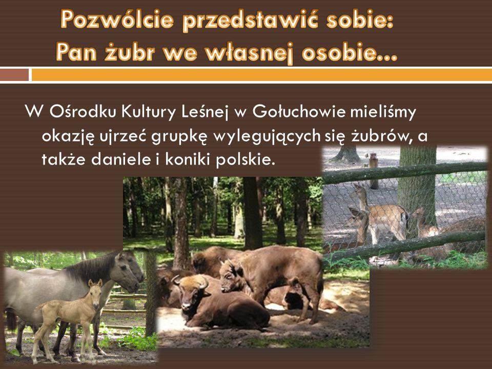 W Ośrodku Kultury Leśnej w Gołuchowie mieliśmy okazję ujrzeć grupkę wylegujących się żubrów, a także daniele i koniki polskie.