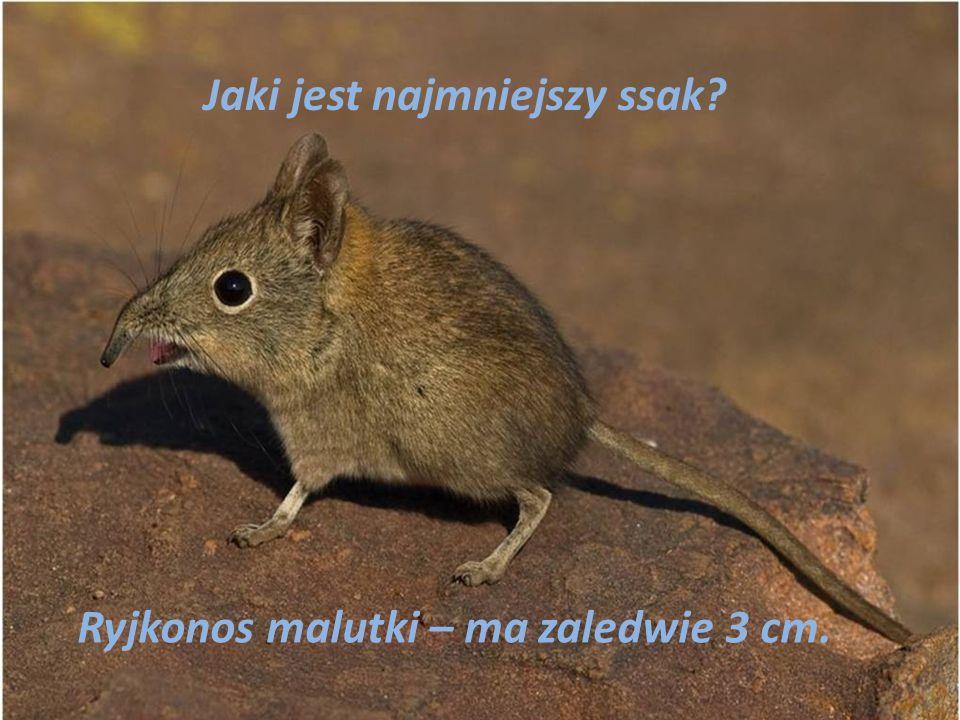Jaki jest najmniejszy ssak? Ryjkonos malutki – ma zaledwie 3 cm.
