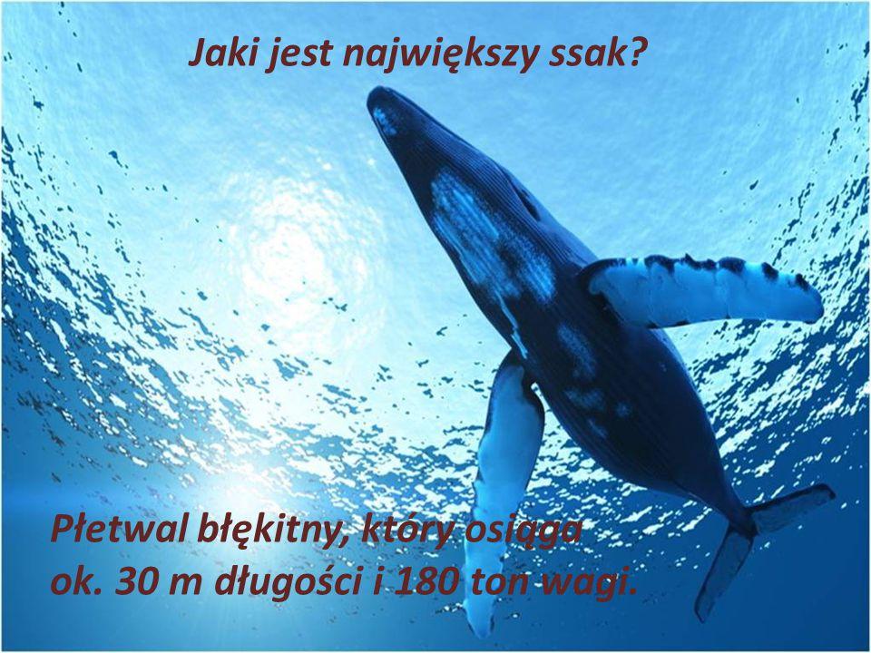 Jaki jest największy ssak? Płetwal błękitny, który osiąga ok. 30 m długości i 180 ton wagi.