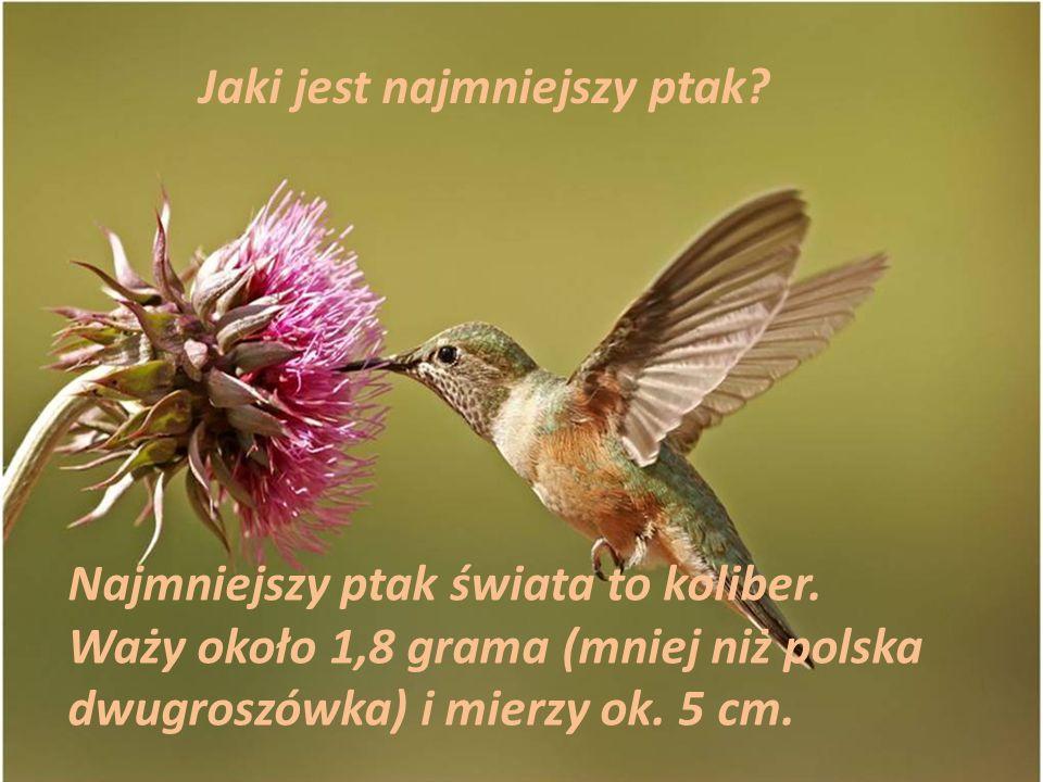 Jaki jest najmniejszy ptak? Najmniejszy ptak świata to koliber. Waży około 1,8 grama (mniej niż polska dwugroszówka) i mierzy ok. 5 cm.