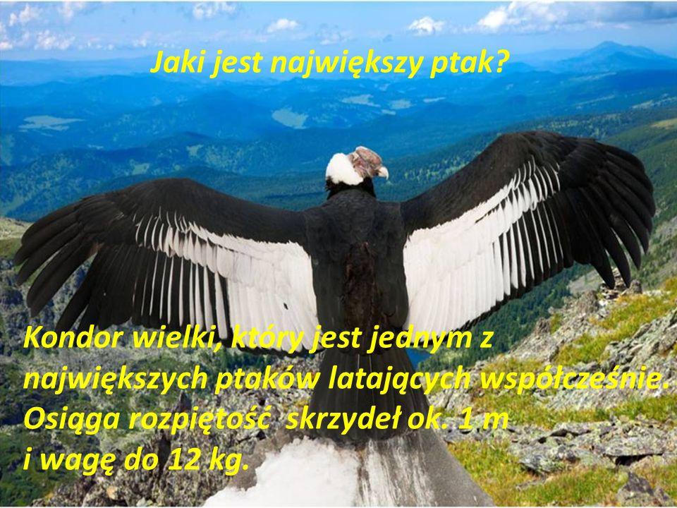 Jaki jest największy ptak? Kondor wielki, który jest jednym z największych ptaków latających współcześnie. Osiąga rozpiętość skrzydeł ok. 1 m i wagę d