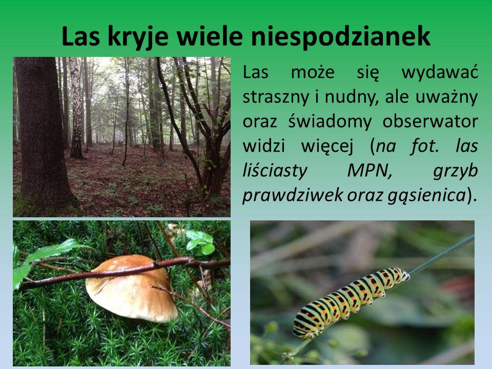 Las kryje wiele niespodzianek Las może się wydawać straszny i nudny, ale uważny oraz świadomy obserwator widzi więcej (na fot. las liściasty MPN, grzy