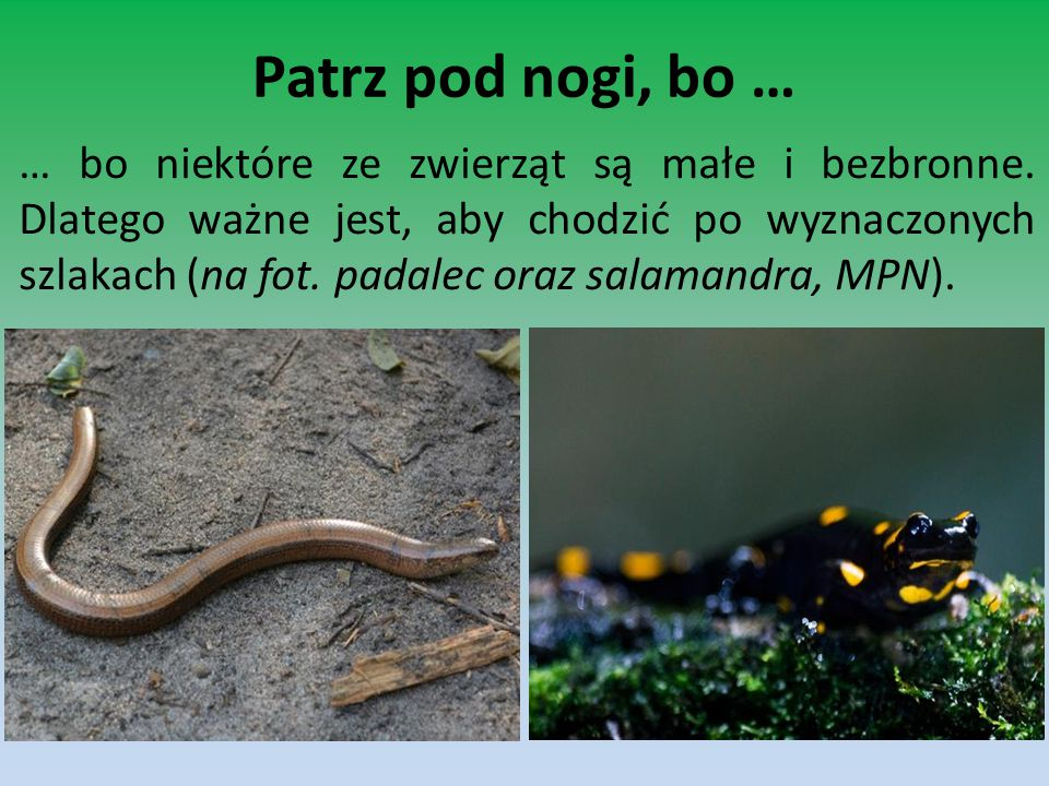 Patrz pod nogi, bo … … bo niektóre ze zwierząt są małe i bezbronne. Dlatego ważne jest, aby chodzić po wyznaczonych szlakach (na fot. padalec oraz sal