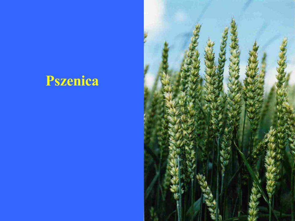 Triticum aestivum ssp. spelta – pszenica orkisz