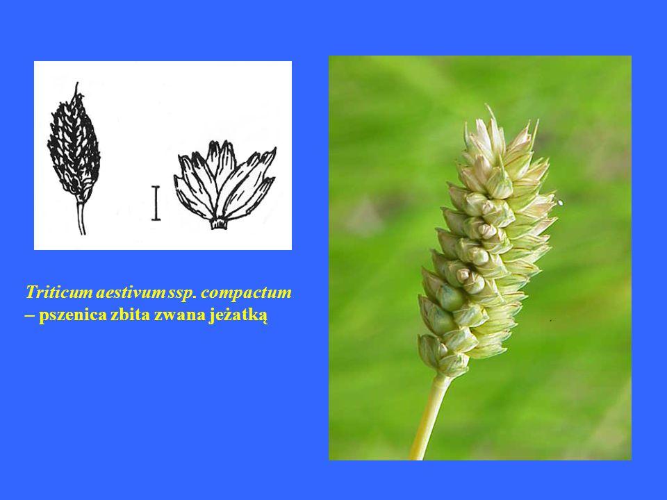 Triticum aestivum ssp. compactum – pszenica zbita zwana jeżatką