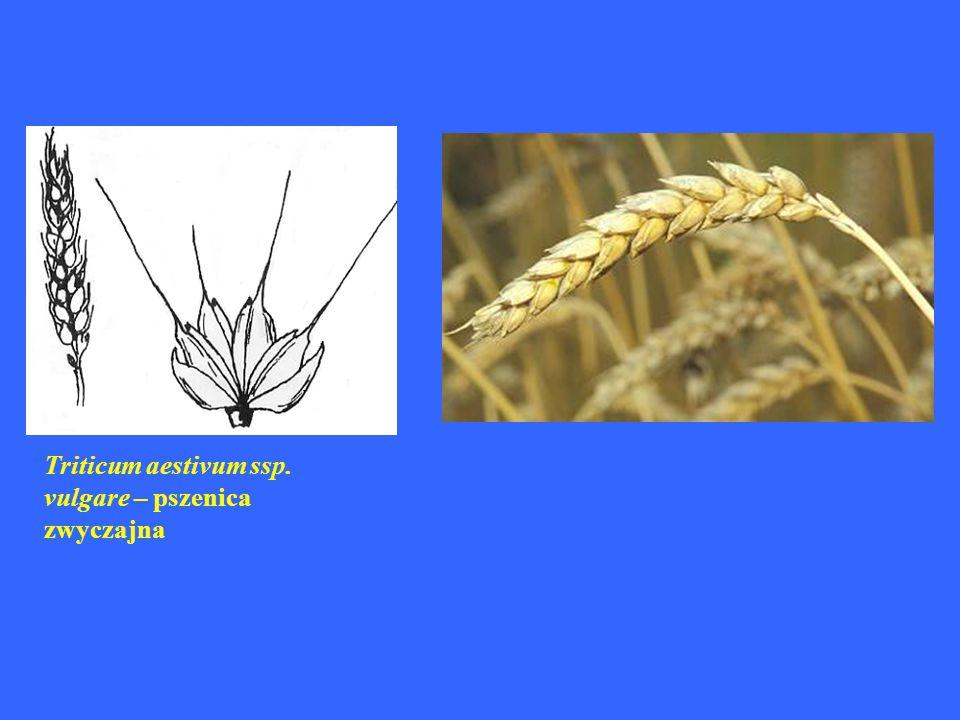 Triticum aestivum ssp. vulgare – pszenica zwyczajna