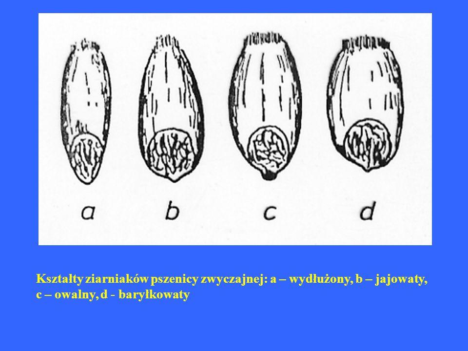 Kształty ziarniaków pszenicy zwyczajnej: a – wydłużony, b – jajowaty, c – owalny, d - baryłkowaty