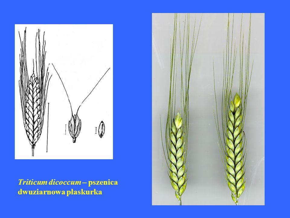 Triticum dicoccum – pszenica dwuziarnowa płaskurka