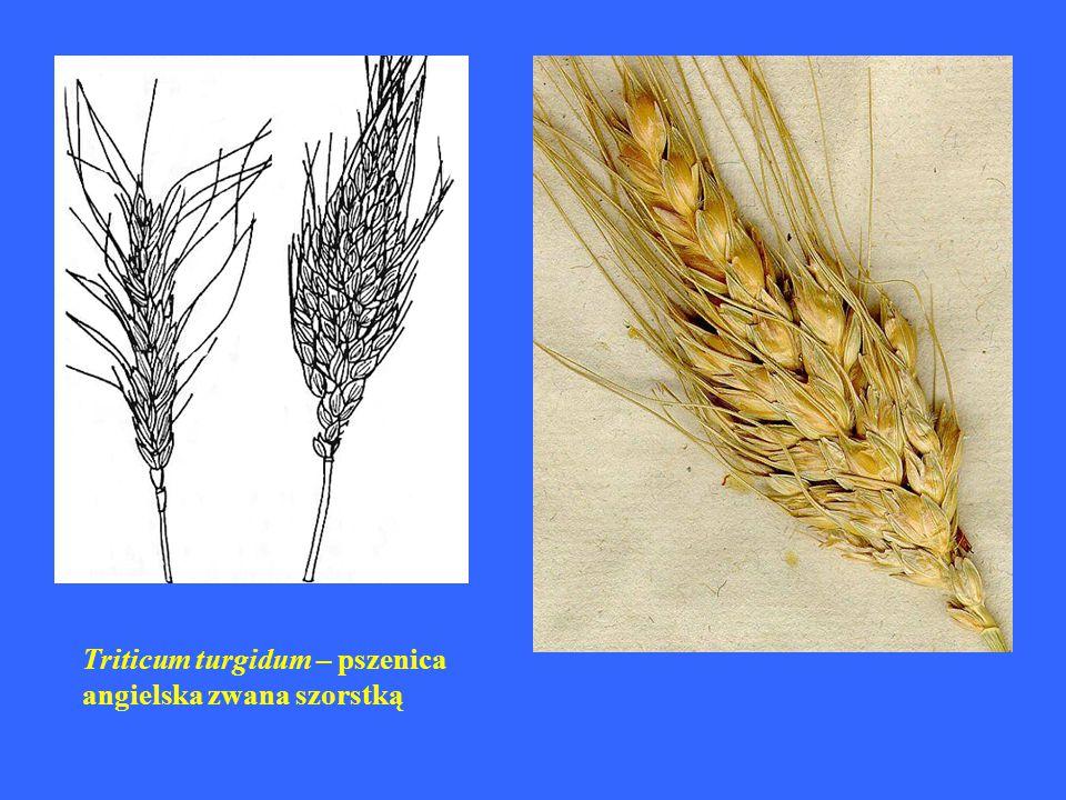 Triticum polonicum – pszenica polska zwana olbrzymią
