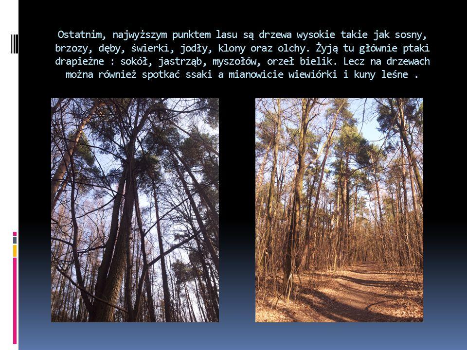 Ostatnim, najwyższym punktem lasu są drzewa wysokie takie jak sosny, brzozy, dęby, świerki, jodły, klony oraz olchy.