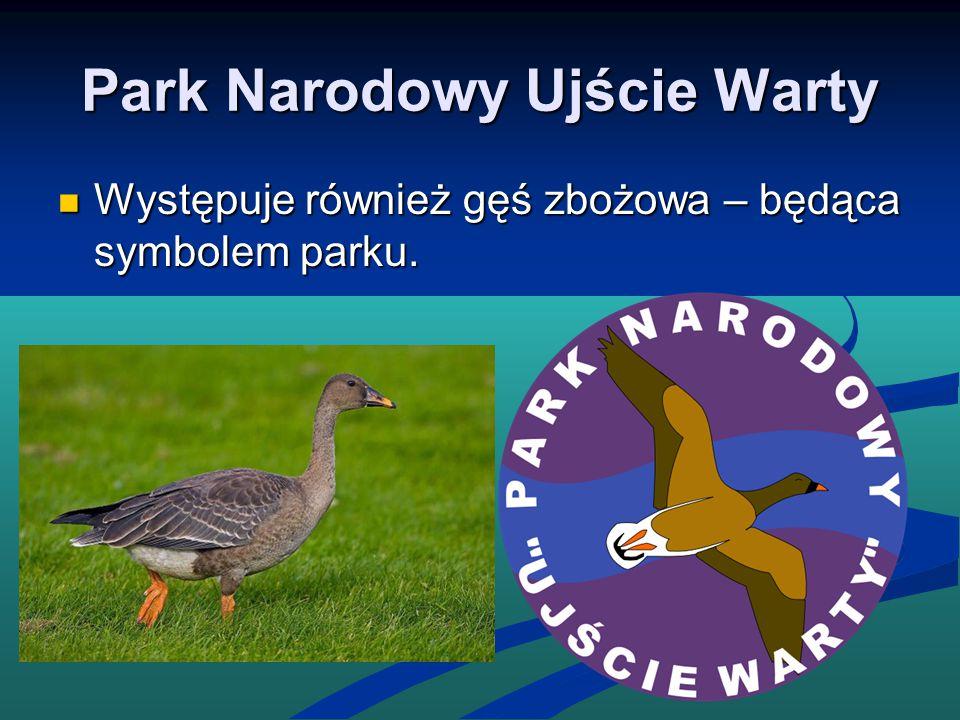 Park Narodowy Ujście Warty Występuje również gęś zbożowa – będąca symbolem parku. Występuje również gęś zbożowa – będąca symbolem parku.