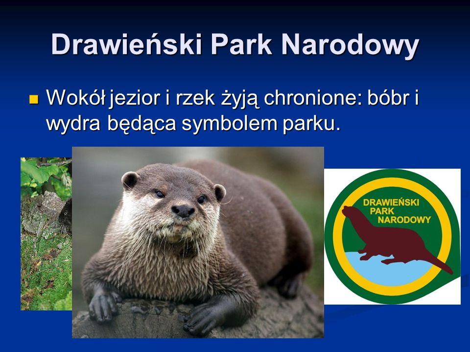Drawieński Park Narodowy Wokół jezior i rzek żyją chronione: bóbr i wydra będąca symbolem parku. Wokół jezior i rzek żyją chronione: bóbr i wydra będą