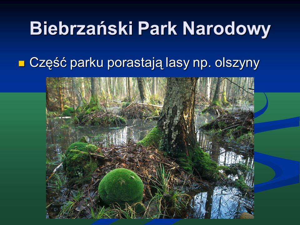 Biebrzański Park Narodowy Część parku porastają lasy np. olszyny Część parku porastają lasy np. olszyny
