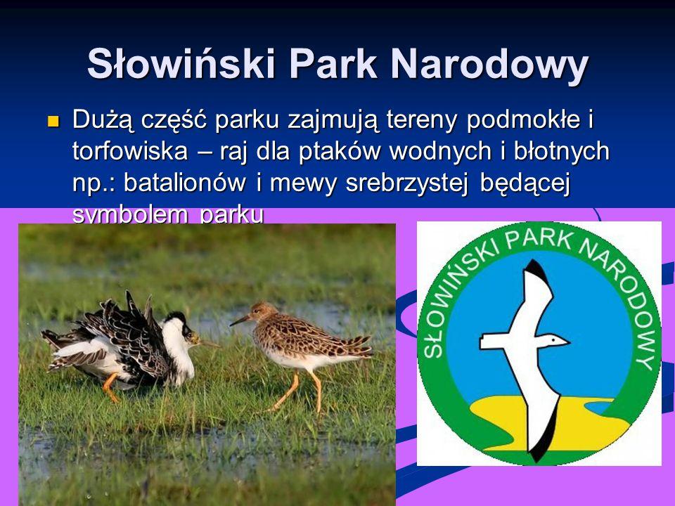 Słowiński Park Narodowy Dużą część parku zajmują tereny podmokłe i torfowiska – raj dla ptaków wodnych i błotnych np.: batalionów i mewy srebrzystej b