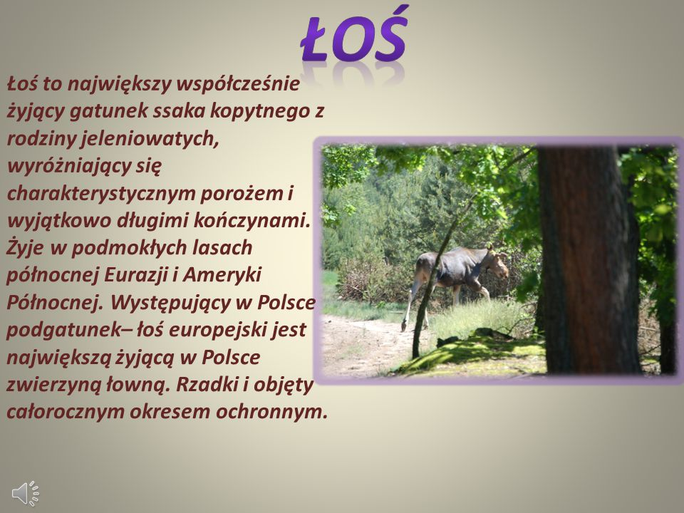 Łoś to największy współcześnie żyjący gatunek ssaka kopytnego z rodziny jeleniowatych, wyróżniający się charakterystycznym porożem i wyjątkowo długimi kończynami.