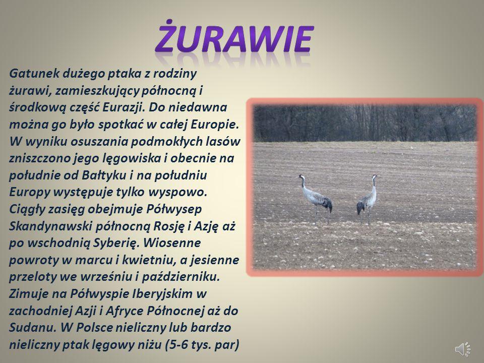 Gatunek ssaka parzystokopytnego z rodziny jeleniowatych. Jedno z ważniejszych zwierząt łownych Europy. Samica jest potocznie nazywana kozą, samiec rog