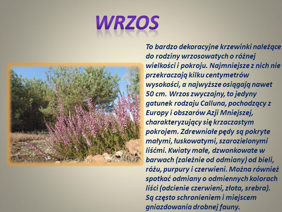 Gatunek dużego ptaka z rodziny żurawi, zamieszkujący północną i środkową część Eurazji. Do niedawna można go było spotkać w całej Europie. W wyniku os