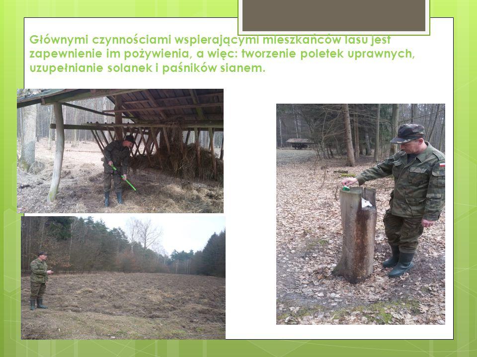 Głównymi czynnościami wspierającymi mieszkańców lasu jest zapewnienie im pożywienia, a więc: tworzenie poletek uprawnych, uzupełnianie solanek i paśników sianem.