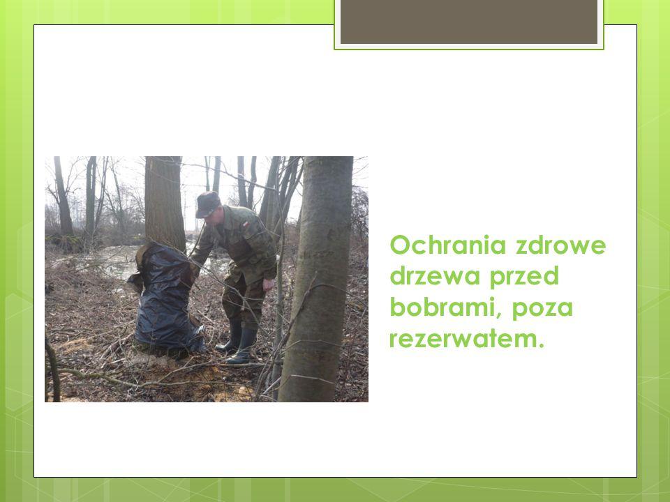 Ochrania zdrowe drzewa przed bobrami, poza rezerwatem.