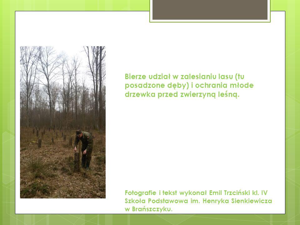 Bierze udział w zalesianiu lasu (tu posadzone dęby) i ochrania młode drzewka przed zwierzyną leśną.