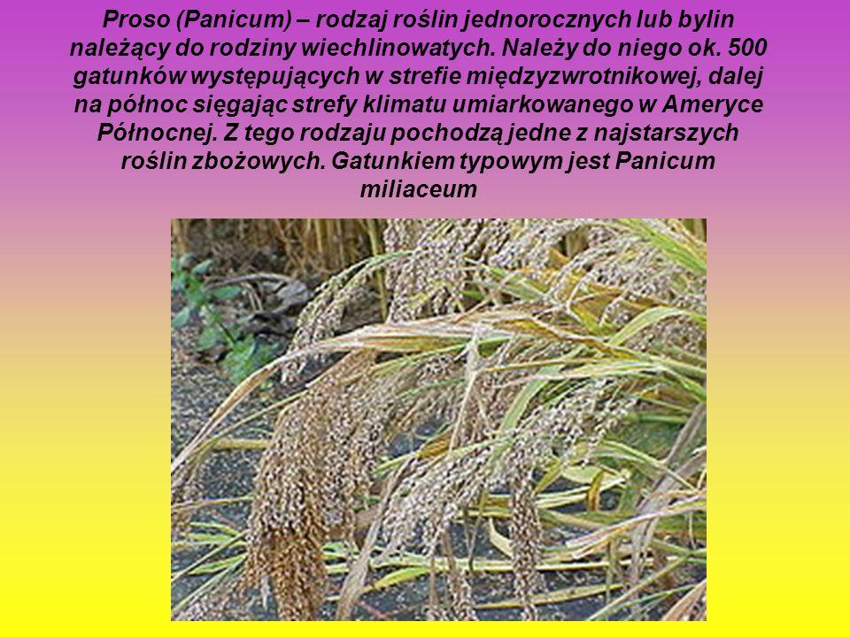 Obrazki (Arum) – rodzaj roślin z rodziny obrazkowatych, obejmujący 29 gatunków występujących w Makaronezji, Europie oraz na obszarze od Morza Śródziem