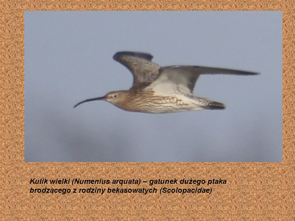 Ibisy (Threskiornithinae) – podrodzina ptaków z rodziny ibisowatych. Obejmuje gatunki brodzące, zamieszkujące strefy klimatów zwrotnikowych i podzwrot