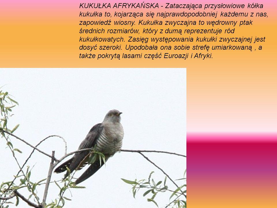 Kulik wielki (Numenius arquata) – gatunek dużego ptaka brodzącego z rodziny bekasowatych (Scolopacidae)