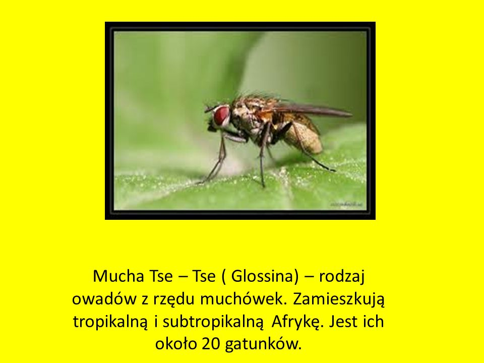 Mucha Tse – Tse ( Glossina) – rodzaj owadów z rzędu muchówek.