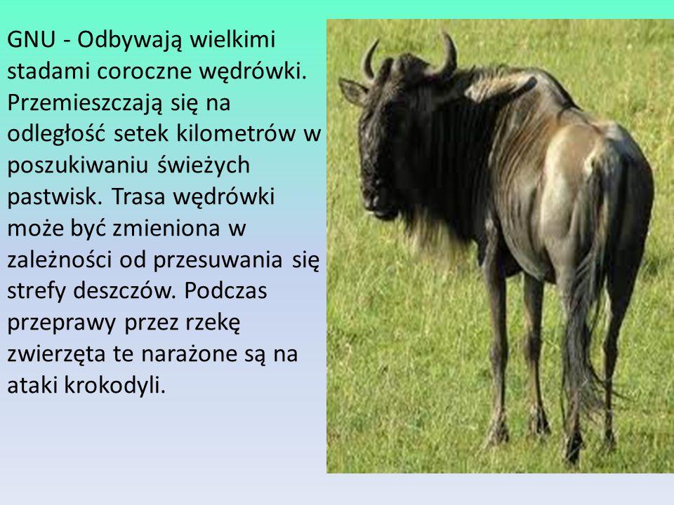 GNU - Odbywają wielkimi stadami coroczne wędrówki.