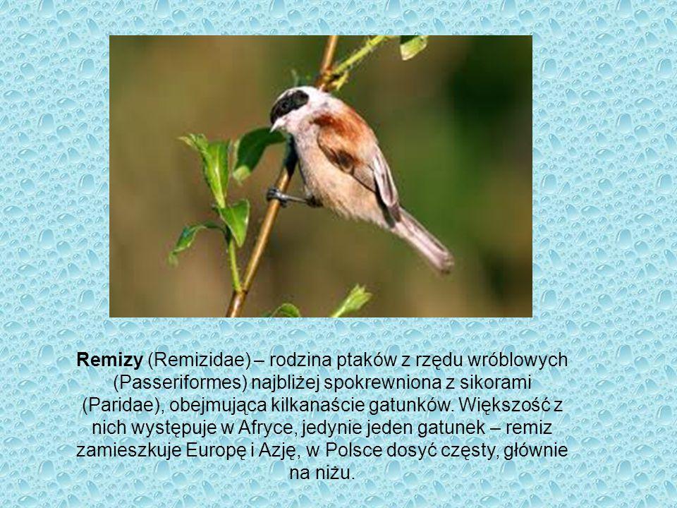 Remizy (Remizidae) – rodzina ptaków z rzędu wróblowych (Passeriformes) najbliżej spokrewniona z sikorami (Paridae), obejmująca kilkanaście gatunków.