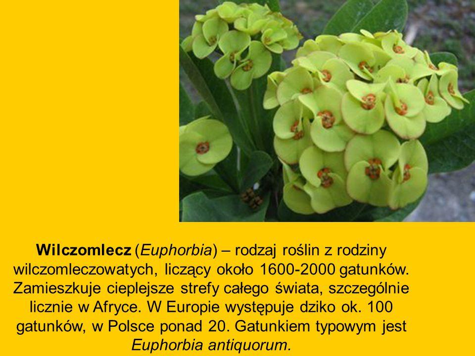 Wilczomlecz (Euphorbia) – rodzaj roślin z rodziny wilczomleczowatych, liczący około 1600-2000 gatunków.