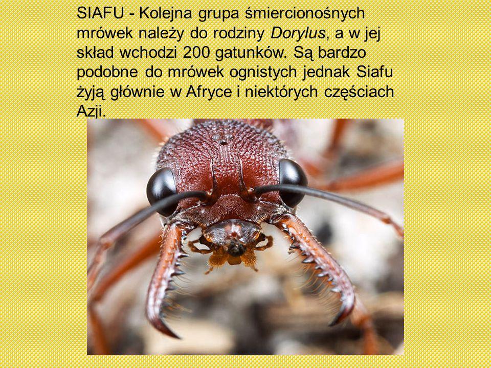 SIAFU - Kolejna grupa śmiercionośnych mrówek należy do rodziny Dorylus, a w jej skład wchodzi 200 gatunków.