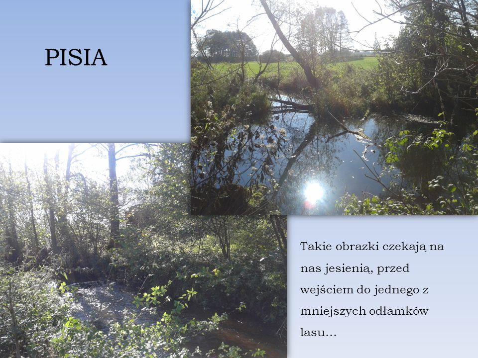 Takie obrazki czekają na nas jesienią, przed wejściem do jednego z mniejszych odłamków lasu… PISIA