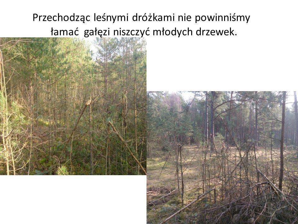 Przechodząc leśnymi dróżkami nie powinniśmy łamać gałęzi niszczyć młodych drzewek.