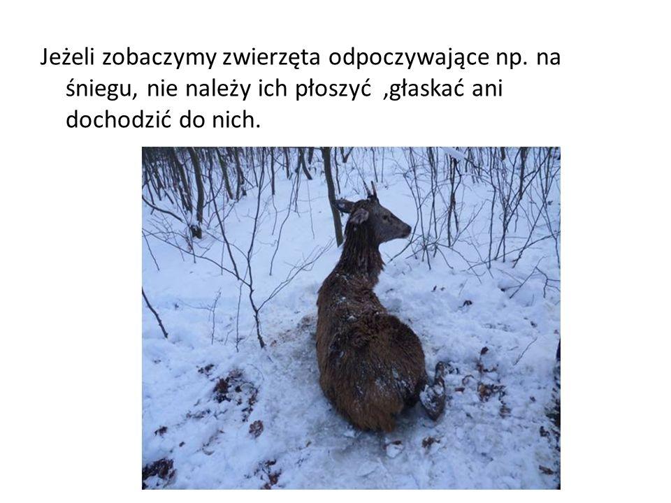 Jeżeli zobaczymy zwierzęta odpoczywające np. na śniegu, nie należy ich płoszyć,głaskać ani dochodzić do nich.