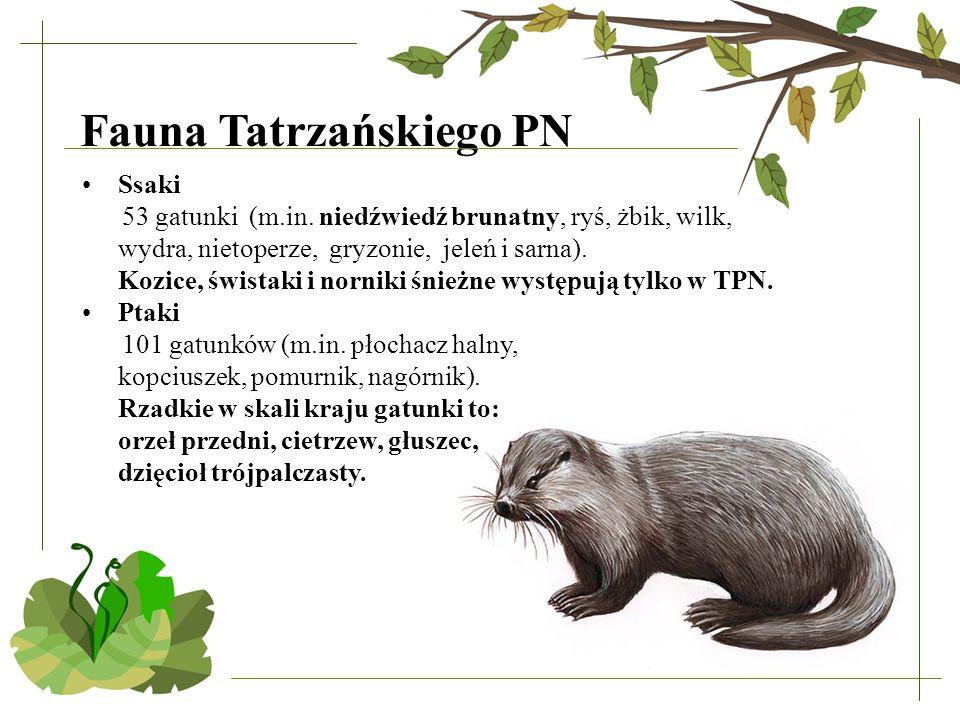Fauna Tatrzańskiego PN Ssaki 53 gatunki (m.in. niedźwiedź brunatny, ryś, żbik, wilk, wydra, nietoperze, gryzonie, jeleń i sarna). Kozice, świstaki i n