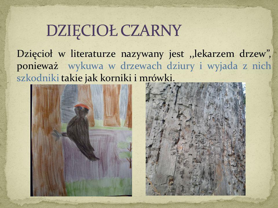 """Dzięcioł w literaturze nazywany jest,,lekarzem drzew"""", ponieważ wykuwa w drzewach dziury i wyjada z nich szkodniki takie jak korniki i mrówki."""