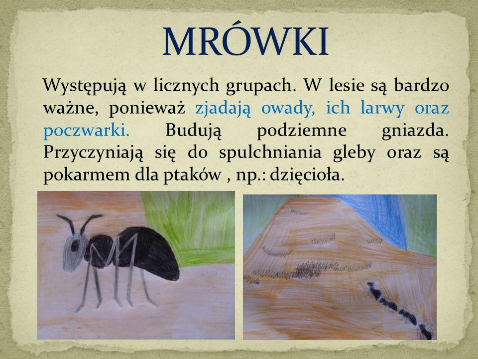Występują w licznych grupach. W lesie są bardzo ważne, ponieważ zjadają owady, ich larwy oraz poczwarki. Budują podziemne gniazda. Przyczyniają się do